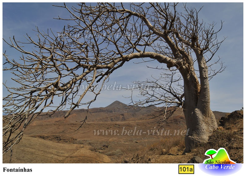Baobab tree in Sao Nicolau Cape Verde